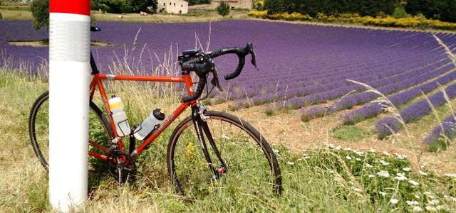 Biking in Provence surrounded by lavender fields in June