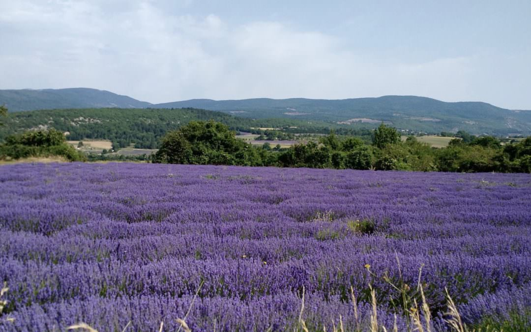 Vast Lavender Field seen on a Cycling Holiday in Provence