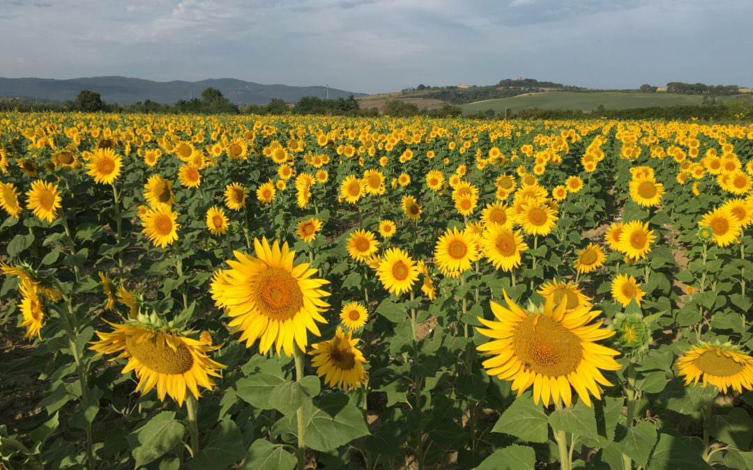 Sunflowers in Tuscany during Tuscany Bike tours